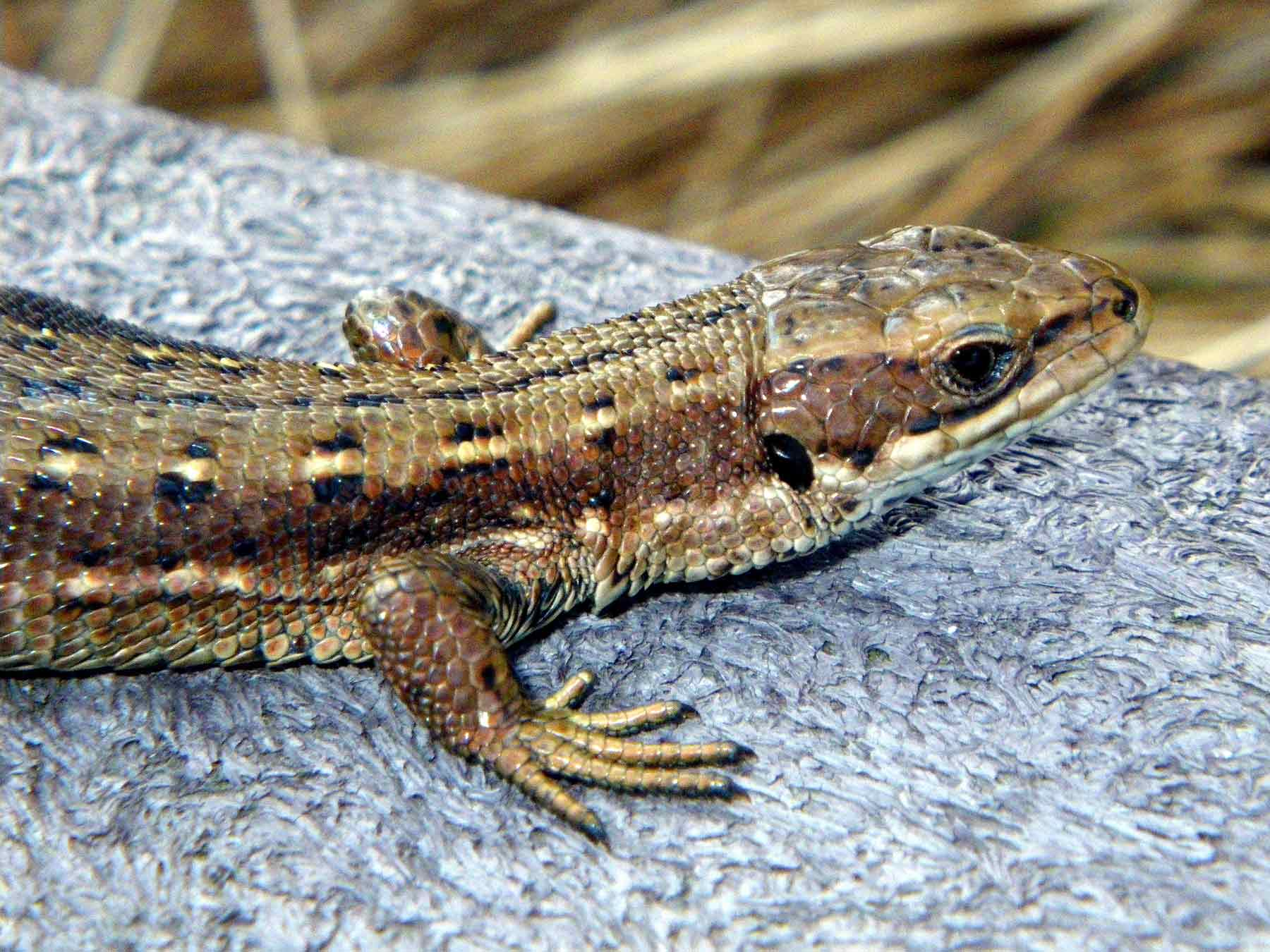 Caledonian-Lizard-very-small.jpg