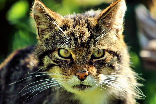 Scottish-Wildcat-c-Airwolfhound.jpg