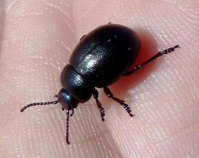 Seed&BeetleRecordingScheme.JPG